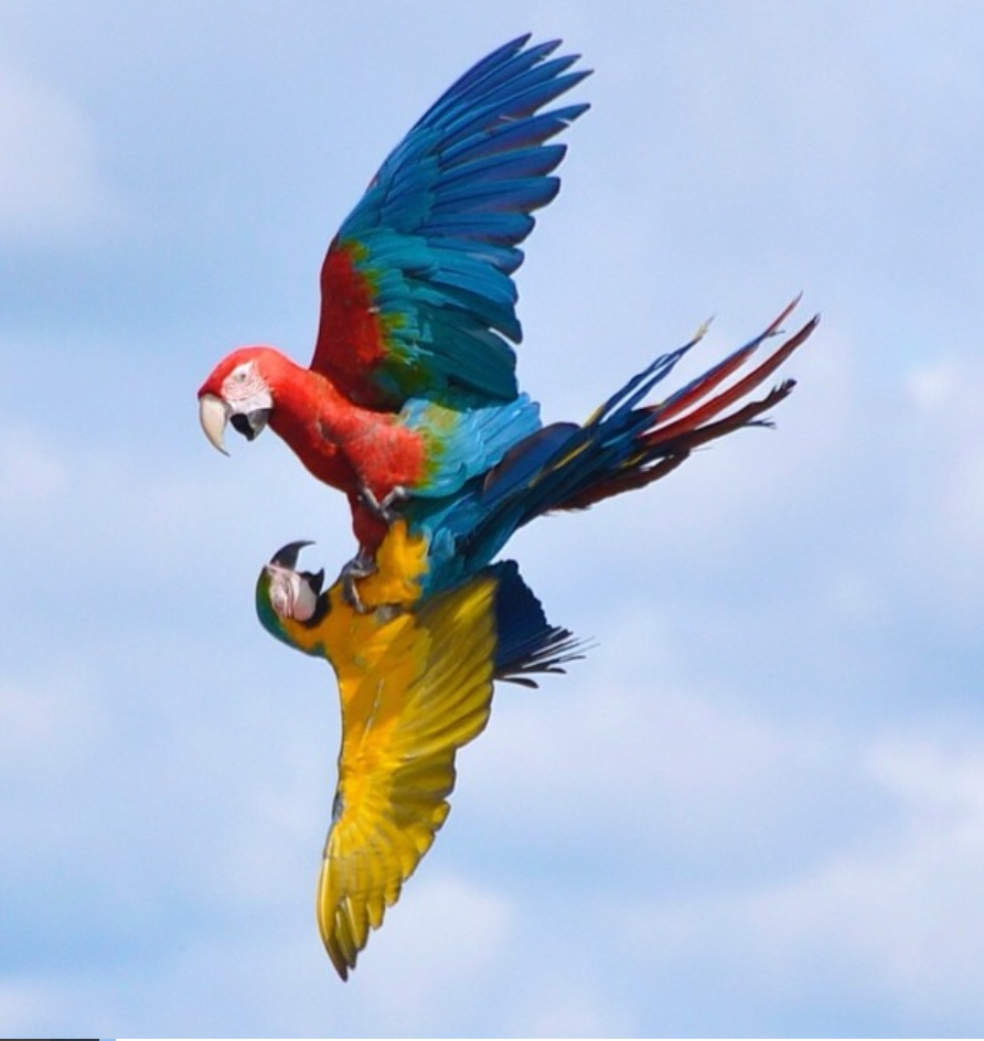 MACAWS INFLIGHT FIGHT.jpg